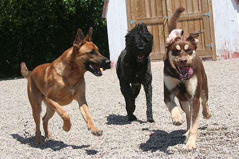 Three large dogs playing together outside on a nice sunny day at Mel's Waggin' Tail Inn Dog Daycare & Boarding Kennel near the Greater Moncton Area
