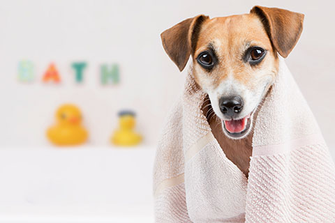 Picture of a cute little dog with a towel around its shoulder as it's coming out of the bath representing the caring and pleasant dog grooming environment at Mel's Waggin' Tail Inn Dog Daycare & Boarding Kennel near the Greater Moncton Area