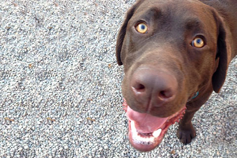 A close up picture of Balou's, a chocolate lab, face