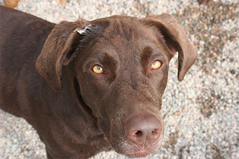 A close up picture of Ben's, a chocolate lab, face