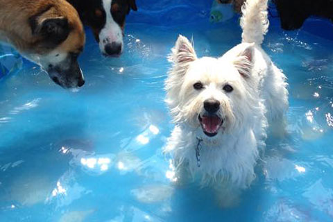 Maggie, a small white terrior, enjoy the water in a kids pool during a hot summer day