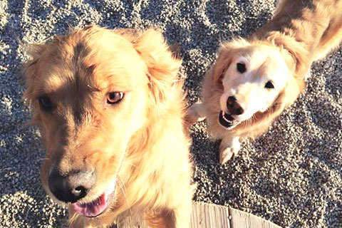 Molly and Piper, two Golden Retrievers, standing on gravel outside during a sunny day